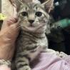 生後1ヶ月縞柄猫