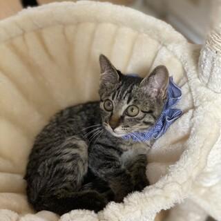 生後2ヶ月半:大きな目のキジトラの男の子