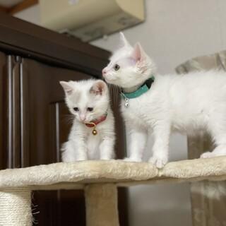 人馴れ抜群白猫兄弟♥