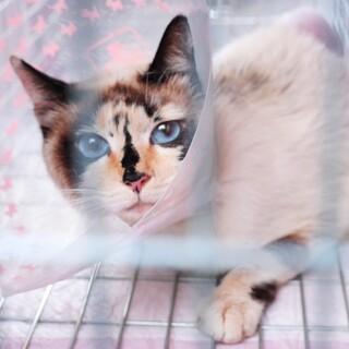 瞳がブルーの美猫ママ♪人も大好き