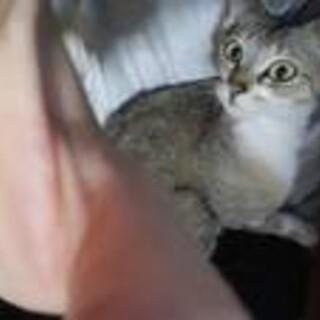 里親募集中(保護猫)メス グレー系×ホワイト