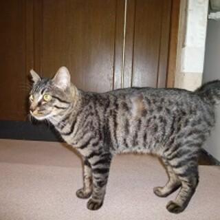 アメショー模様のボブテイルの可愛いオス猫!