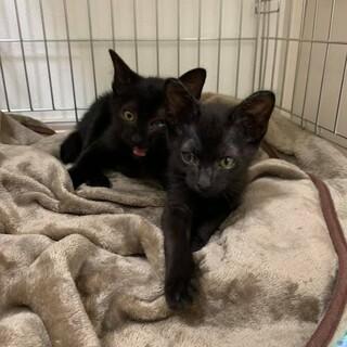 センターレスキューの黒子猫双子「サン」と「ラニ」