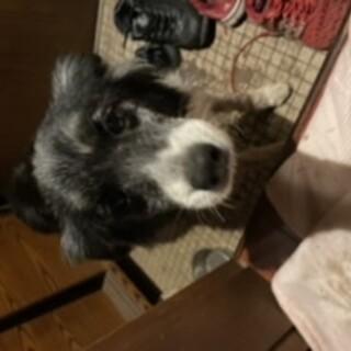ボーダーコリー7歳他小型犬います