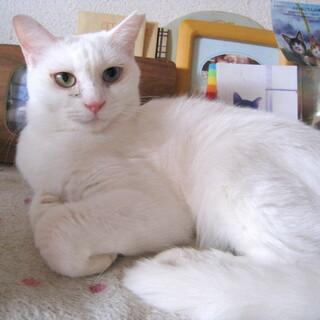 オッドアイの白猫さん♀触られるのが嫌いです