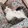 【代理投稿】美しいキジトラ兄弟仔猫の里親募集