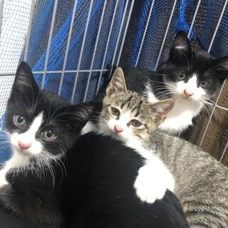 白黒の生後2ヶ月半の子猫の里親様募集します!
