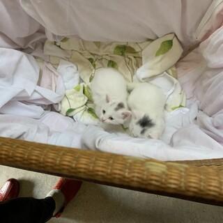 真っ白な美人ネコから産まれた兄弟ネコです。