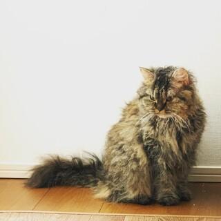 ラパーマ 世界に300匹しかいない猫ちゃん