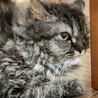 ラパーマ 世界に300匹しかいない猫ちゃん サムネイル4