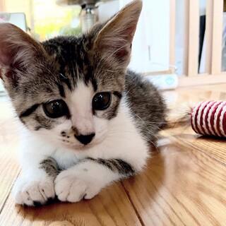 里親募集 かわいいトラ猫(雄)でーす!