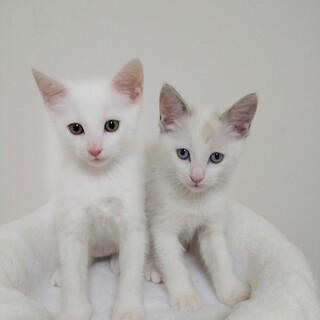 白猫・子猫の里親募集します