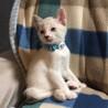 シャムMIX系♂2か月半 遊び相手猫のいるウチ募集 サムネイル4