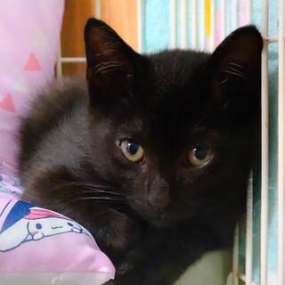 つぶくん ~寂しがりやな2か月の黒猫の男の子~