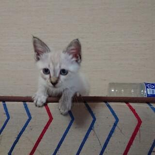 仔猫バニラちゃん里親さん募集