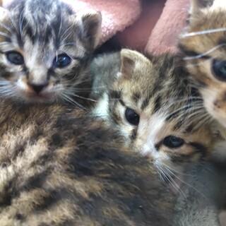 生後2〜3週間の子猫