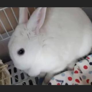 ミニウサギの雑種のおこめちゃん