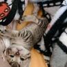 生後3週ミルク子猫