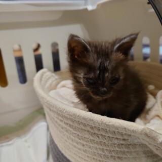 生後1ヶ月半程度の黒いふわふわ子猫