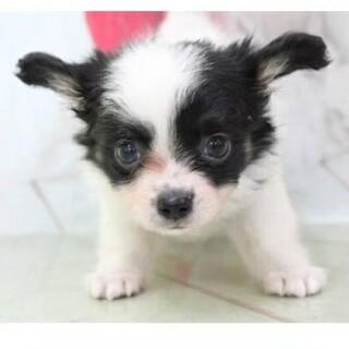 チワワ×パピヨン 子犬 二ヵ月 白×黒
