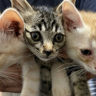 子猫3匹保護しています。