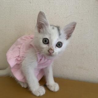 可愛い白猫 ほいっぷちゃん2ヶ月