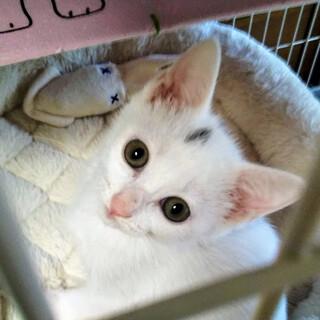 天真爛漫なれなれの双子猫マシュマロちゃん2ヵ月半