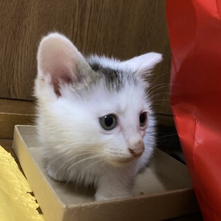 2ヶ月の子猫です 模様が可愛い!!