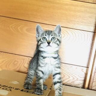 ピコピコ歩くまるまる美猫キジトラちゃん