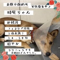 「倉敷の美人ワンコ、時尾ちゃん→譲渡決定!」サムネイル1