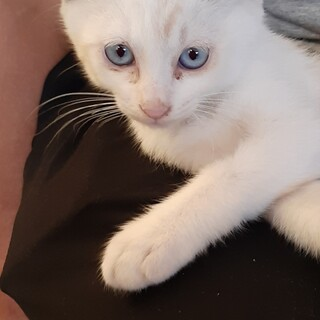 青い目が魅力的な白い子猫ちゃん