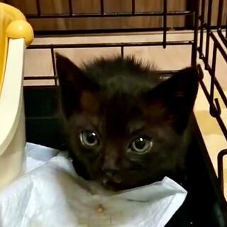 急募!2ヶ月弱黒猫♀