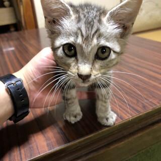 お試しホームステイ可★保護猫 子猫