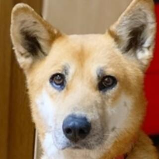 保護犬ナンバーD1490 柴犬系ハーフ