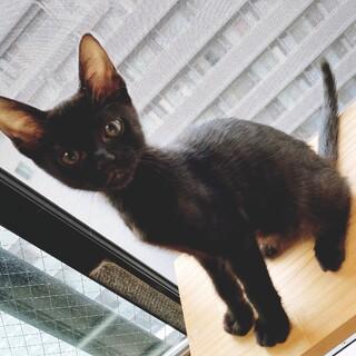 レア柄ゴーストタビー黒猫男子部生後2ヶ月