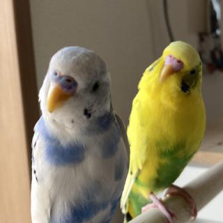 セキセイインコ 成鳥2羽