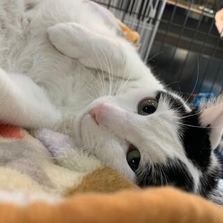 大阪ほご猫譲渡会参加猫マロ兄マロニイ♂白黒