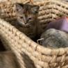 ケア済み!兄弟の子猫(キジトラ、サビ)