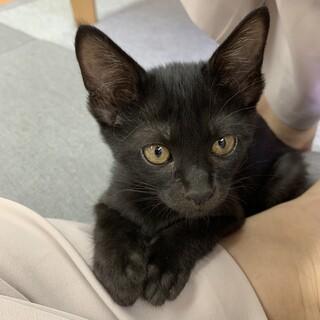 【二ヶ月♀】黒猫の女の子 コームちゃん