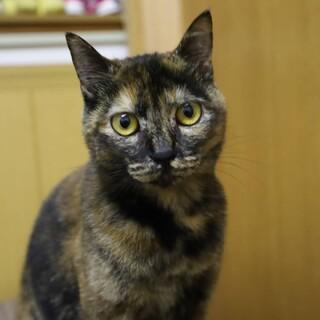 美猫のサビさん♡まりーちゃん《6/27譲渡会参加》