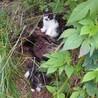 【再掲載】生後2ヶ月白黒ちょび髭子猫2匹