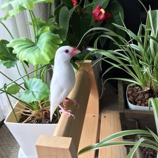 1歳7か月の白文鳥女の子
