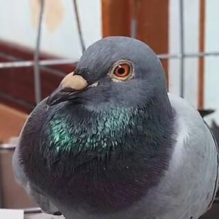 とっても懐こくてかわいい鳩の昊(そら)くん