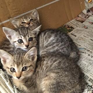 【保護猫】キジトラ4姉妹