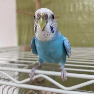 手乗りセキセイインコメス2歳鳥籠セットで出します