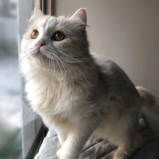 仲良し2匹一緒に★スコ♂・日本猫♀