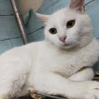 美人なさくら猫さん