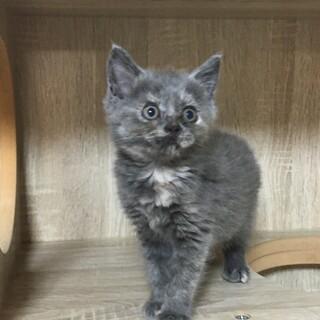 マンチカン グレーな毛色の子猫 2か月