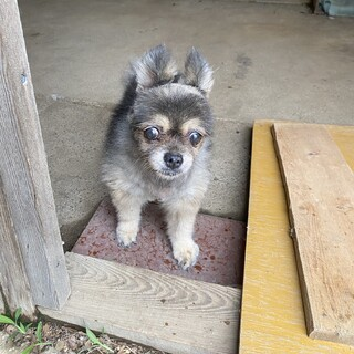 ポメラニアン 老犬 17歳 さくらちゃん