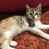 可愛い3ヶ月の三毛猫です!人懐っこくて利口です。